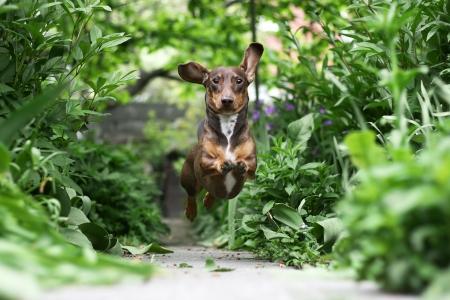 Little Dachshund puppy running in the garden