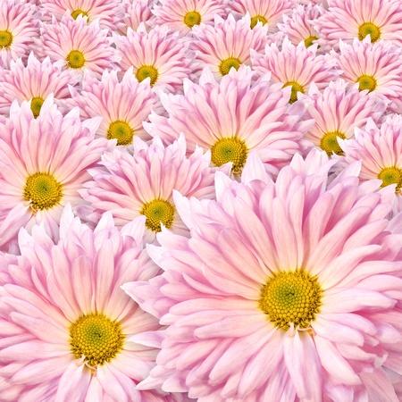 shasta daisy: Blooming pink shasta daisy flowers (Chrysanthemum). Stock Photo