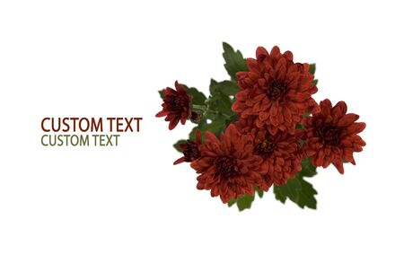 Crimson Chrysanthemum flowers over pure white background with space for custom text. photo