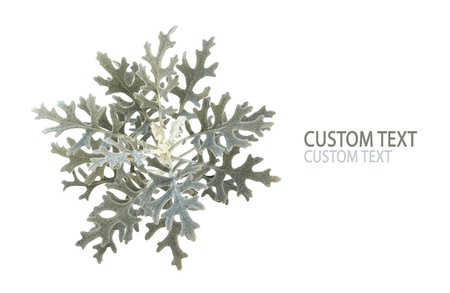 Detail of Dusty miller (Jacobaea maritime). Isolated on pure white background.