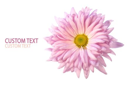 Detail of a beautiful pink Shasta Daisy (Chrysanthemum indicum) over pure white background. photo
