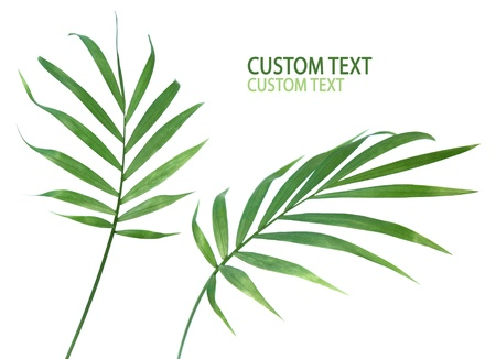 Two palm plant leaves isolated on pure white. Stock Photo - 10897231