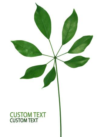 Fresh green leaf isolated on pure white