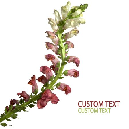 Beautiful bicolor flower detail isolated on pure white.