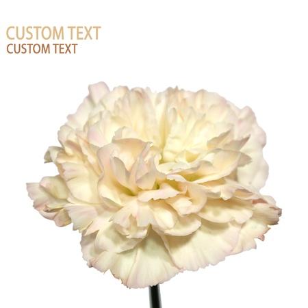 clavel: Detalle de la flor de clavel (Dianthus caryophyllus), tambi�n conocida como rosa de clavo. Aislado en blanco puro. Foto de archivo