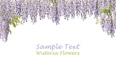 wisteria: Flowers of japanese wisteria forming