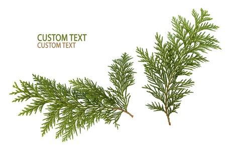 Blattwerk, Blätter der japanischen Thuja Baum, auf reinen weißen Hintergrund isoliert Standard-Bild