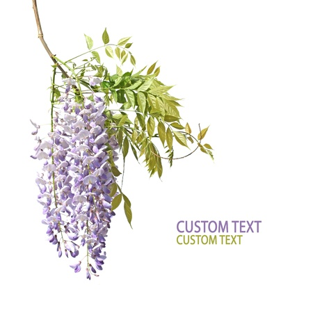 stalk flowers: Beautiful flower branch of japanese wisteria over pure white background. Copyspace.