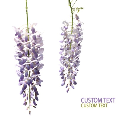 Two flowers of wisteria tree over pure white background. Copyspace. photo