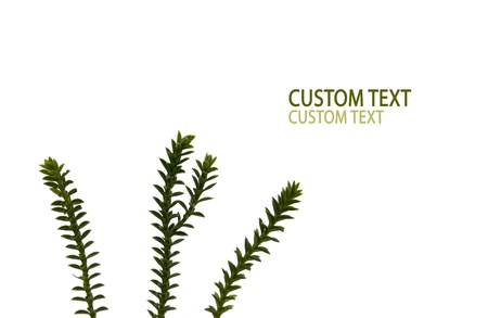 Three fresh branches against pure white background. Stock Photo