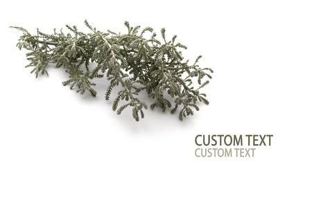 senecio: Silver Senecio branch against pure white background.
