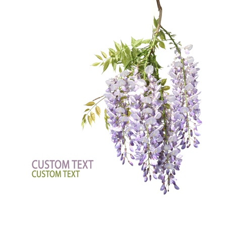 Wisteria tree branch with beautiful flowers over pure white background. Space for text. photo