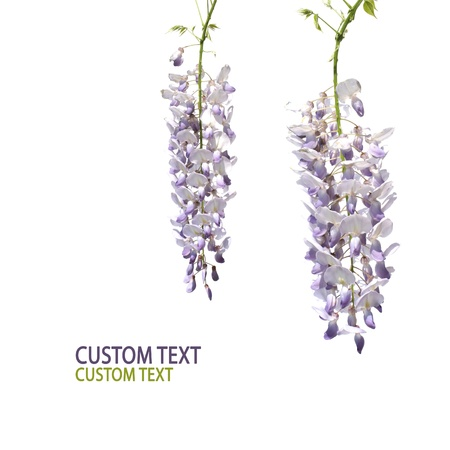 Two flowers of wisteria tree over pure white background. Space for custom text. photo