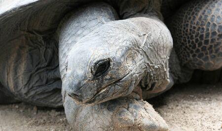 Portrait of the Galapagos Giant Tortoise. Stock Photo