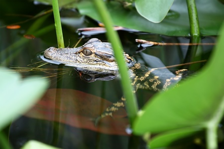 marsh: Young alligator swimming in the swamp in Everglades, Florida.