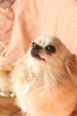cuteness: Chihuahua that watches