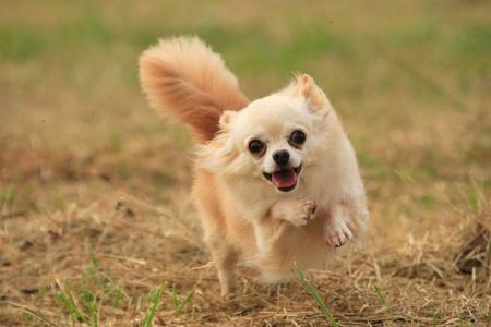 cuteness: Running Chihuahua Stock Photo