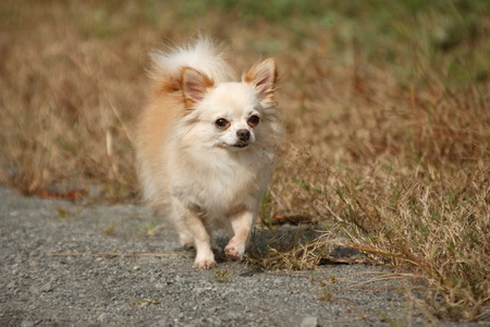 cuteness: Walking Chihuahua