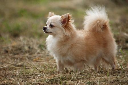 long hair chihuahua: Gallant Chihuahua