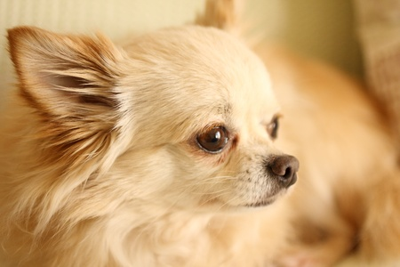 long hair chihuahua: Chihuahua pauses Stock Photo