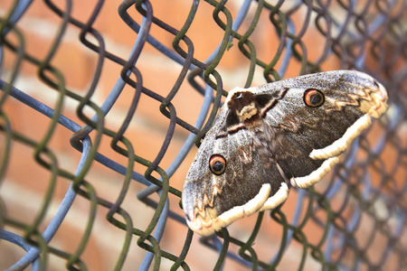 Great butterfly on a metal grid. Close up. The concept of slavery.