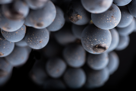 tendrils: Close up, berries of dark bunch of grape with water drops in low light isolated on black background