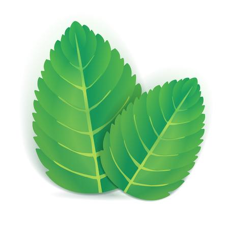 hierba buena: Dos de menta hojas verdes con sombra Vectores