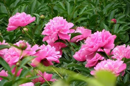 la floraison des pivoines brousse rozovyyh