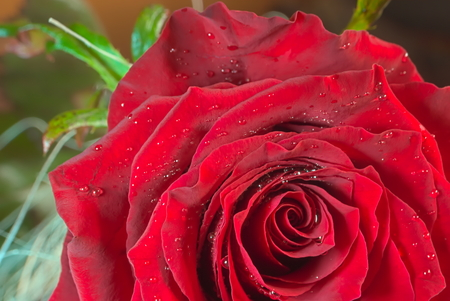 red rose: Red rose with small water droplets.