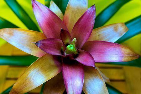 guzmania: Guzmania, a beautiful pink flower Stock Photo