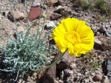 Arizona wild flower Stock Photo