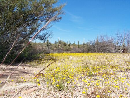 Arizona wild flowers Stock Photo