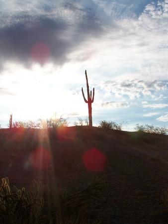 sguaro cactus in the sun