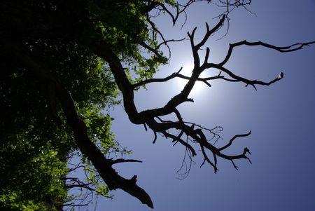 Dead Tree silhouettes the sun