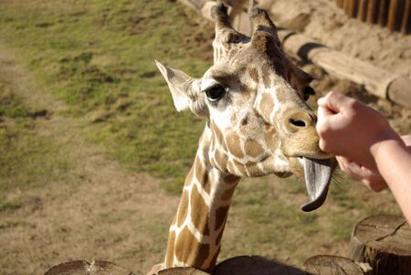 sticking out the tongue: jirafa lengua que salen a comer