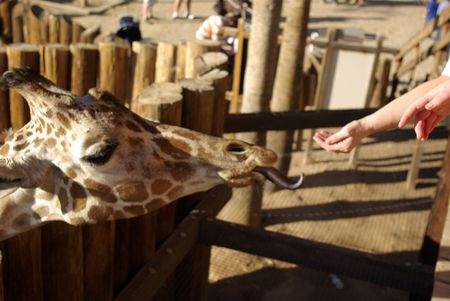 giraffe sticking out tongue to eat