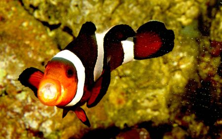 Clown fish with mouth open