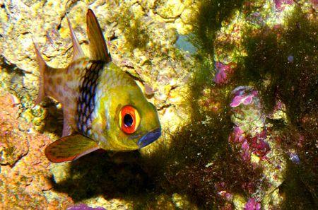pajama cardinal fish Stock Photo - 4845932