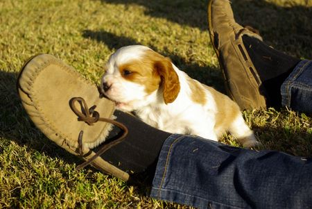 Puppy Cavalier King Charles Spaniel