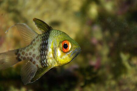 Pajama Cardinal fish Stock Photo