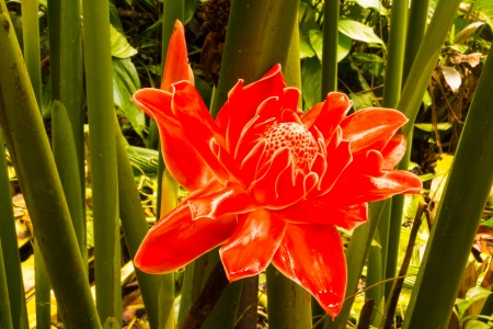 The pretty of red Torch Ginger