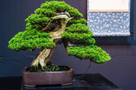 cedro: Esta Juniper Bonsai casi 100 años de antigüedad árbol Foto de archivo