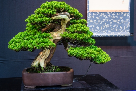 This Juniper bonsai tree almost 100 years old photo