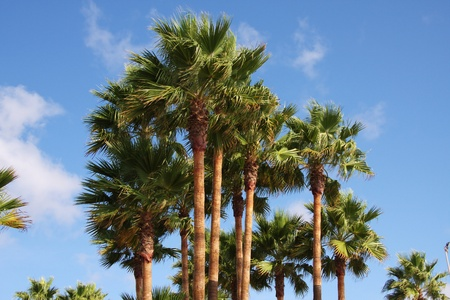 Palm trees soar into the blue sky