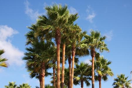 Palm trees soar into the blue sky