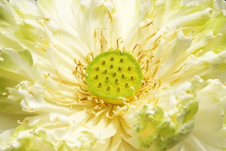 recording a macro photo of a white lotus flower