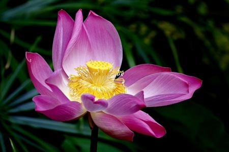 lotus effect: Lotus flower  Stock Photo