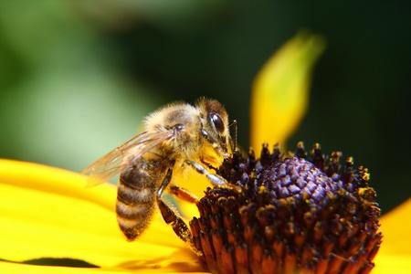 een honingbij zuigt nectar bedekt met stuifmeel Stockfoto