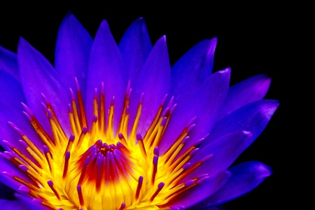 lotus effect: lily, a lily in pink and yellow