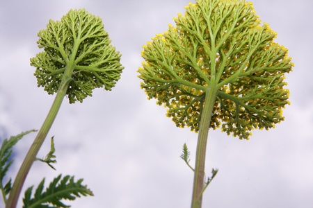 yarrow photographed from below against the sky Stock Photo - 10511474